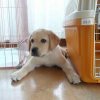 【介助犬】パピーです!