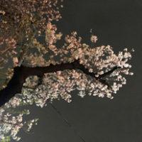 桜はきっと来年も咲きます